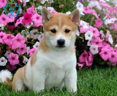 Shark   Shiba Inu Puppy For Sale   Keystone Puppies Shiba Inu, Puppies For Sale, Shark, Corgi, Best Friends, Animals, Beat Friends, Corgis, Bestfriends