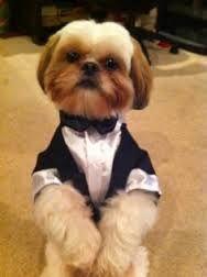 Image result for dog shitzu