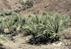http://jungletropicale.com/2012/09/nannorrhops-ritchieana/    #jardinage #palmiers    Cliquer l'image pour lire l'article.