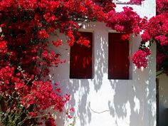 Facade with red shutters and red bougainvillea. Chora, Folegandros island, Cyclades, Greece