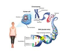 DNA chromosomes and genes