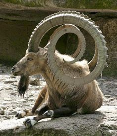 The Most Unusual Shapes Of Goat Hornes
