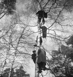 People climbed a tree to watch rally (Eläintarhan ajot, Helsinki, in 1930's).