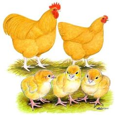 Buy Buff Orpington Chicks, Buff Orpington Chickens for Sale, Buff Oprtington Chickens Image Picture