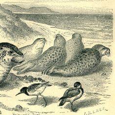 1883 True Seals Antique Print Engraving Brehm by CarambasVintage, $16.00