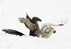 Dromaeosaur hunting a small ornithopod during winter