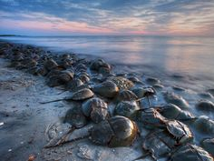 Horseshoe crabs gather at dusk to mate along the shore of the Delaware Bay in Cape May, New Jersey. High tides and a new or full moon bring the largest concentration of crabs to the shoreline each May.