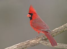 The northern cardinal! Love how they show up husband and wife to eat at the feeder! And their song is my favorite!