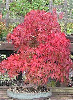 Trees bonsai trees and maple bonsai on pinterest - Arce rubrum bonsai ...