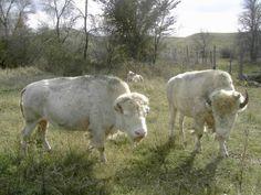 Jamestown's albino buffalo - White Cloud and Dakota Miracle