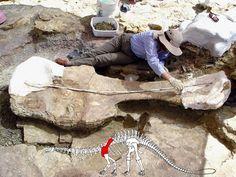 Frances Mayse mesure l'épaule d'un Apatosaurus, près de Last Chance Quarry, en mai 2008. Photo : U. S Forest Service Photo. Auteurs : U. S. Department of Agriculture / Flickr. 2013.