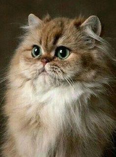 † book_dragon_queen † O gato persa representa o glamour no mundo dos felinos. Em gatinhos, são umas bolas de pêlo adoráveis que até acabam por se perder no seu pêlo longo. Aprenda a identificar, cuidados e outros aqui. #fluffycatsbreedslonghair