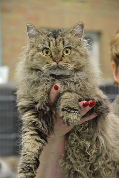 Boucles Selkirk Rex, Selkirk Rex Kittens, Selkirk Rex Cats