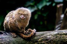 "earth-song: ""Pygmy marmoset"" by David Vercruysse - logangaiarpg Pygmy Marmoset, Earth Song, Flora And Fauna, David, Songs, Animals, Animales, Animaux, Animal"