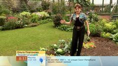 82  Окучиваем капусту, чтобы дала богатый урожай.