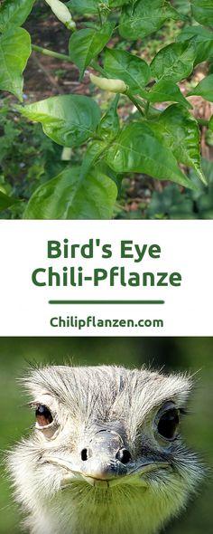Birds Eye ist eine aus Afrika stammende Chilisorte. In Äthiopien zum Beispiel wächst sie noch heute wild in freier Natur. Es sind kleine, aber produktive Chilipflanzen. So ist es nicht verwunderlich, dass sie auch gerne landwirtschaftlich angebaut wird. Als Gewürz sind Birdeye Chilis weltweit beliebt. Besonders in Indien und Asien werden die Chilischoten gerne zum Kochen verwendet oder in Salat geschnitten.