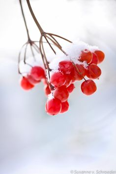 Winter Photography, Red & White, Red Berries, Snow, Holiday Cards, Christmas, Nature Photo, Home Decor