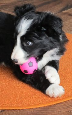 Loved balls from day one...Asha the baby border collie