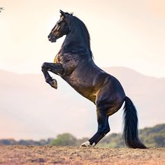 "873 Likes, 3 Comments - Ignacio Alvar Thomas (@alvar_thomas) on Instagram: ""PRE stallion owned by @mironbococi #horsesofinstagram #equinephotography #equine #horses…"""