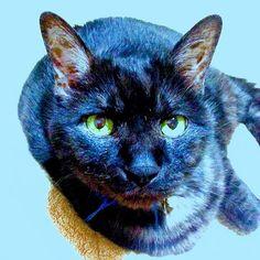 うちの愛猫のみーちゃんです✨  今月で14歳になります🎂  みーちゃんは 我が家を守ってくれてるって  そんな気がしています(*´ー`*) いろいろあったけど  みーちゃんがうちに来てから ほんと落ち着いたから♡  いつまでも、元気で長生きしてほしいな〜〜(´-`).。oO  いつもありがとうございますm(_ _)m  こんな飼主ですが  これからも宜しくお願いします✨  #愛猫 #cat #みーちゃん14歳 #お誕生月 #黒猫ではない #大切な家族 #ひも #クッチャネクッチャネ #捨て猫 #体重7キロオス #我が家の守り猫 #鍵しっぽ #縁起良い #幸運を運ぶ猫 #運動不足だけど