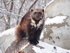 A wolverine's fur is hydrophobic, which means that the fur is resistant to elements such as frost and snow. (Photo by Patti Woods Truesdell) Wolverine Images, Wolverine Animal, Wolverine Art, North American Wolf, Detroit Zoo, Honey Badger, Creature Feature, Wolverines, Exotic Pets