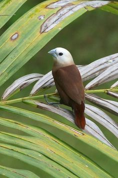 The White-headed Munia (Lonchura maja) is a species of estrildid finch found in Indonesia, Malaysia, Singapore, Thailand and Vietnam - and has also been introduced to Portugal. It is found in wetlands habitat.