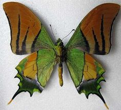 Found in China and Vietnam, the Golden Kaiser-i-Hind is considered an endangered species, and is quite threatened by the wildlife trade, despite being protected by Chinese law. Butterflies