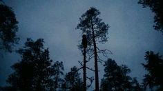 Viirupöllö kaverina metsokytiksellä