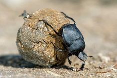 Dung beetles use the Milky Way as a compass. Top 10 Most Interesting Facts About Africa's Wildlife