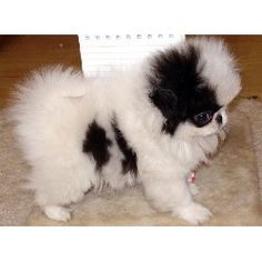 Japanese Chin puppy...looks like angel when she was a pup