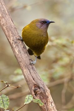 New Zealand Bellbird (Anthornis melanura) Kinds Of Birds, Love Birds, Beautiful Birds, Animals Beautiful, Cute Animals, Small Birds, Colorful Birds, Pet Birds, Birds 2