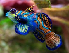 Mandarinfish. This is the fish that inspired me to have a salt water aquarium years ago. Seems I read that fish don't see in color.