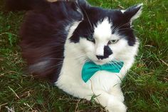 "63 Likes, 4 Comments - Skwisgaar😺Toki😻Abby😼Pickles🐱 (@tuxedocatquartet) on Instagram: ""Skwisgaar was feeling a little fancy today😺😻😸 #Skwisgaar #FancyFriday . . . . . #camkixcontest…"""