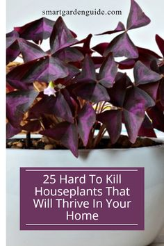 Some of my favorite houseplants are so easy to look after. All 25 on this list as suitable houseplants for beginners as they are very fogiving of imperfect care. Easy Care Indoor Plants, Indoor Flowering Plants, Blooming Plants, Madagascar Dragon Tree, Purple Shamrock, Snake Plant Care, Cast Iron Plant, Umbrella Tree, Kitchen Plants