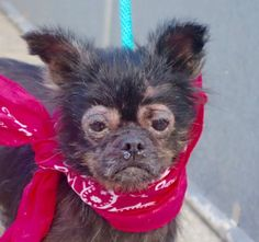 MIA - A1089791 - - Manhattan  Please Share:TO BE DESTROYED 09/17/16 **NEEDS A NEW HOPE RESCUE TO PULL** Little Mia was surrendered to the ACC because her elderly owner is sick. She's a 5 year old black Chi with a skin condition that needs attention. Obviously her former owner wasn't up to taking care of a young dog and now she must pay the price. She has never been around children and takes time to warm up to strangers but she is capable of love. She sure loved