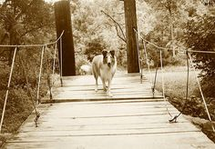 . Collie Dog, Stairs, Dogs, Outdoor, Ladders, Outdoors, Ladder, Staircases, Pet Dogs