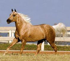 Quarter horse stallion, Top Firewater.