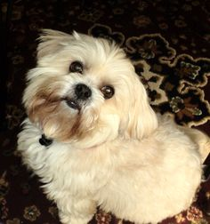 The lovely Lhasa Apso.