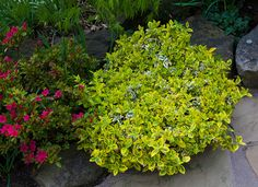 Euonymus fortunei Emerald 'n' Gold Sun Garden, Garden Shrubs, Winter Garden, Garden Beds, Shade Garden, Garden Art, Landscaping With Rocks, Landscaping Plants, Landscaping Ideas