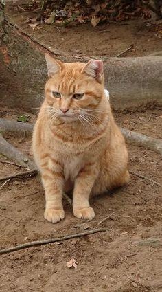 #Cats #Cat #Kittens #Kitten #Kitty #Pets #Pet #Meow #Moe #CuteCats #CuteCat #CuteKittens #CuteKitten #MeowMoe 散歩中に見かけた茶トラ君です! (@kamimura0118)さんより #CuteCats... https://www.meowmoe.com/56180/
