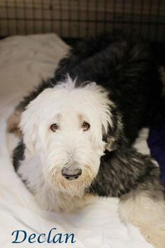 441 Best Adopt Me images in 2015 | Poodle, Poodle mix dogs