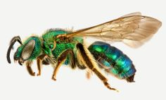 Agapostemon sericeus, Female, courtesy Bee Tribes of the World Dragonfly Insect, Insect Art, Tribes Of The World, Get Rid Of Flies, Cool Bugs, Garden Bugs, Bees And Wasps, Praying Mantis, Animal Kingdom