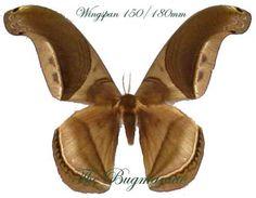 Saturnidae : Rhescynthis pseudomartii PAIR