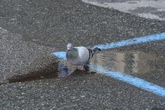il bagno del piccione - quella che per me è una pozzanghera, per il piccione è una vasca da bagno