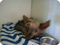 Camarillo, CA - Yorkie, Yorkshire Terrier Mix. Meet A590505 a Dog for Adoption.