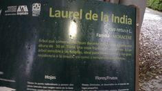"""Laurel de la India """"Ficus retusa L."""""""