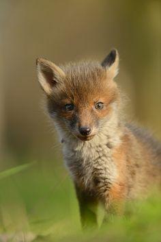 Red Fox cub | Flickr - Photo Sharing!
