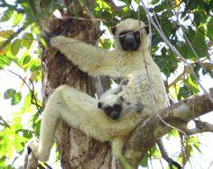 Von der Decken's Sifaka, vulnerable - native to Madagascar