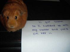shaming my guinea pig :)