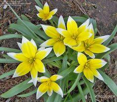 Tarda Tulip (Tulipa tarda)